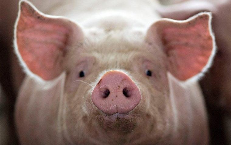 イスラム教 豚